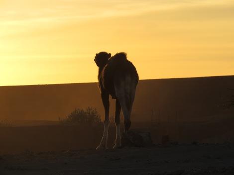 TIPI4x4, dromadaire, Maroc